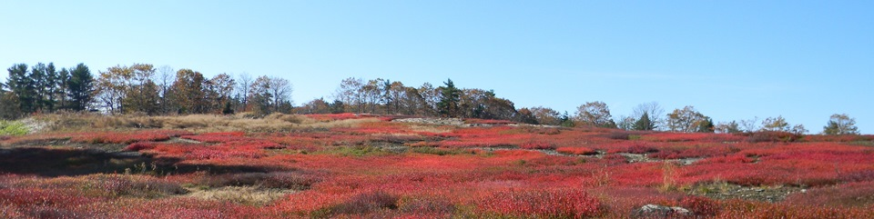 Blueberry barrens in Liberty, Maine.